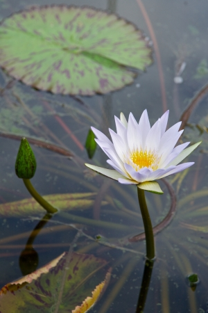 waterlillies: Lilly pad and Flower in a Pond