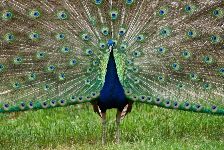 Colorful Peacock displaying feathers photo
