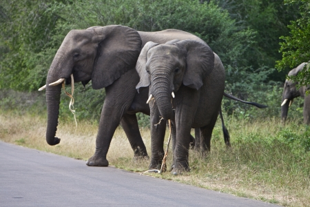 typical: African elephants standing together