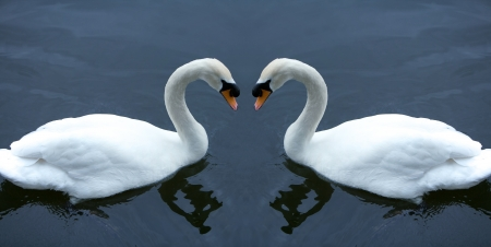Swan in love  photo