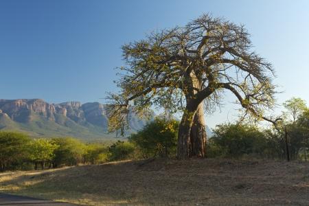 Baobab boom Stockfoto