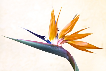 조류의 낙원, 여왕 답게 Strelitzia, 꽃
