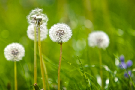metaphorical: Dandelion in a field Stock Photo
