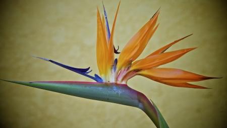 bee on flower: Bird of paradise flower