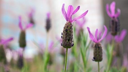 lavandula angustifolia: Lavender Lilac Flowers