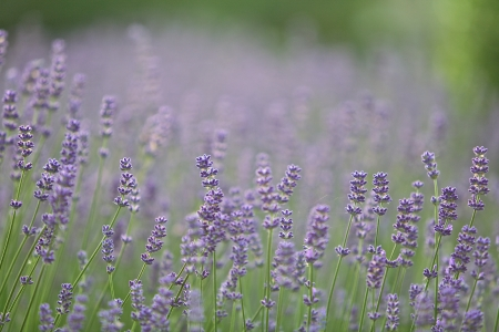 Lavender Flowers in a sunny park Stock Photo