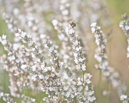 lavandula angustifolia: White Lavender Flowers in a garden