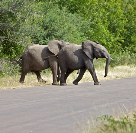Elephant crossing the road in South Africa Stock Photo - 17061590