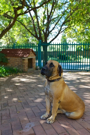 boerboel dog: Boerboel dog, pet
