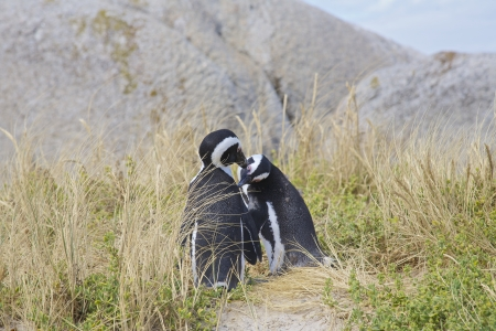 Penguins in love, False Bay, Boulders Bay, Simon's Town, Western Cape, Cape Town, South Africa photo