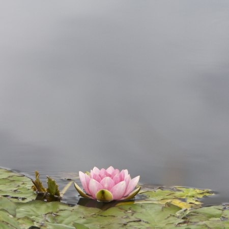 water lilly: Lilly pad and flower in a pond