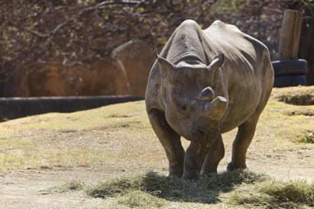 Rhino, endanger animal, South Africa photo