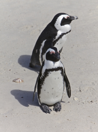 Penguins in love, False Bay, Boulders Bay, Simon photo