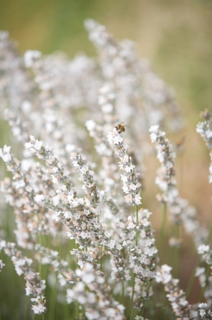 White lavender flowers in a garden