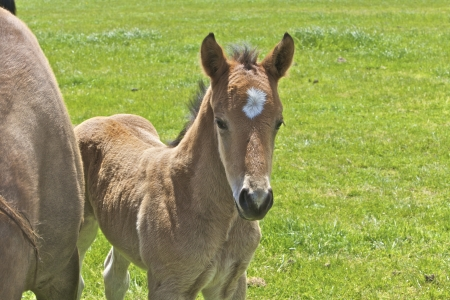 filly: Brown horse and its filly in a meadow