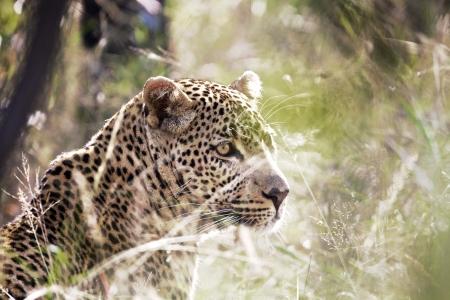 Leopard in grass, South Africa