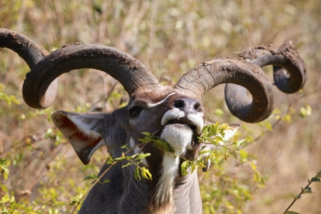 national plant: Kudu bull eating in the Kruger National Park, South Africa Stock Photo
