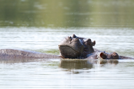 kruger national park: Hippo resting in a river in South Africa