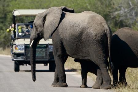 道路を横切って観光、ツアー、アフリカの象 写真素材