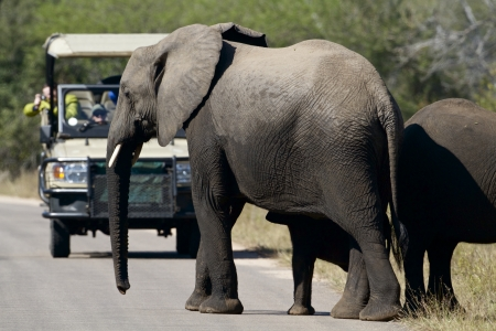 kruger park: Elephant crossing the road with tourist on a tour, Africa Stock Photo