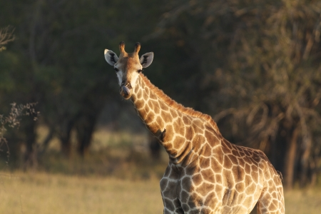 Giraffe, Kruger National Park, South Africa photo