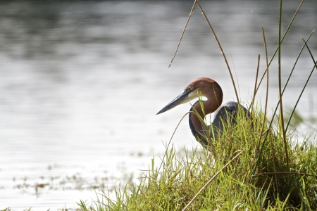 Goliath Heron at Lake Panic in the Kruger National Park, South Africa Stock Photo
