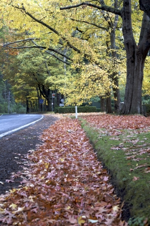 rain forest background: Beautiful fall trees with road drive, forrest