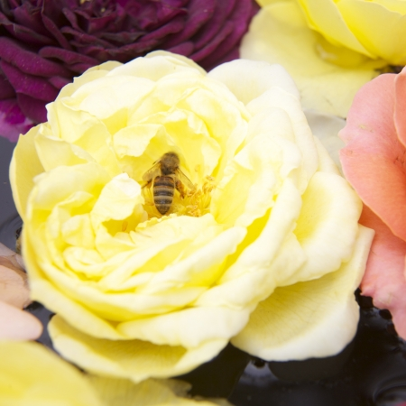 Beautiful roses, top View with a bee inside Stock Photo - 21796660
