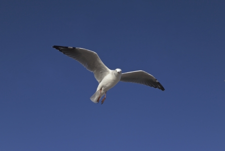 seabirds: Flying seagull in the sky Stock Photo