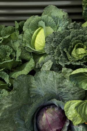 Cabages in a Vegetable Garden Stock Photo