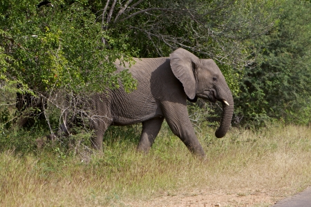 kruger national park: African Elephant in the bush