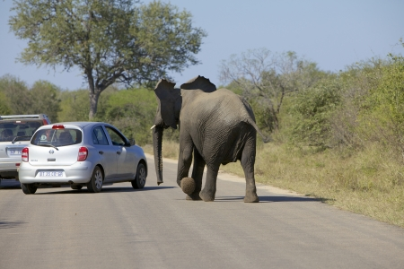 kruger national park: Elephant chasing the tourists in a car in the Kruger National Park, South Africa