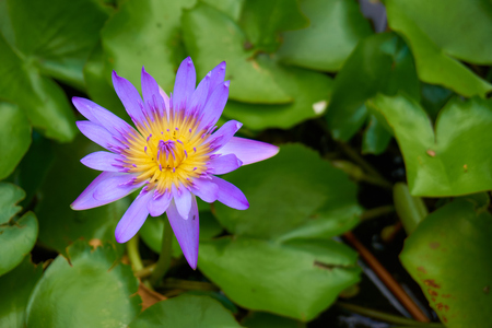 nymphaea: Purple water lily (or Nymphaea stellata; Nymphaea nouchali) and ants are swarming inside. Blurred lotus leafs background. Stock Photo