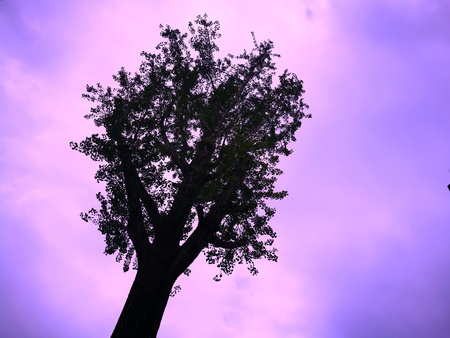 Silhouette of a tree on purple and pink background. Copy space for add text is on the right. Use as background, backdrop, image montage in concept of mystery. Stock Photo