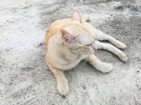 Close up of cute Asian cat (light brown color) lying on concrete floor. It was taken from front during its head turn left (showing right side of face), looking at somethings. Useful as visual content or image montage (such as pet food). Stock Photo
