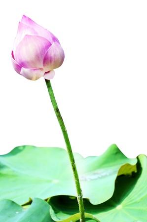 lotus leaf: lotus leaf,