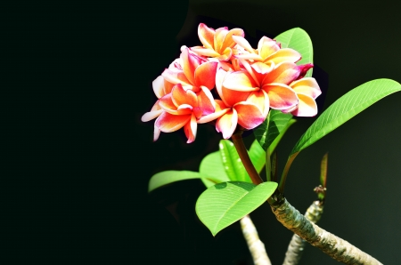 shaft:  Flowers  Frangipani,  Petals,  Frangipani petals,  Leaves,  Frangipani leaves,  Frangipani, orange,  Illustration,  Background,  Shaft,  Branches,  Branches frangipani,