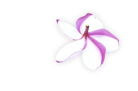 Frangipani flower with white background.