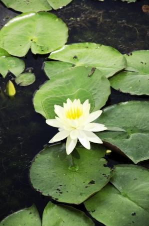 Lotus in natural waters.