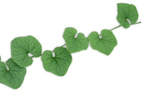 Green leaves with white background  Stock Photo