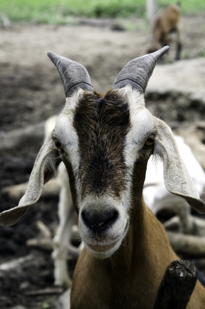 Goat lives on a farm field in Thailand.
