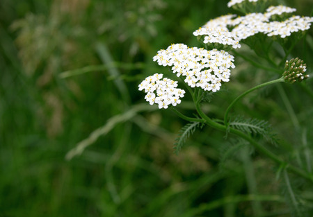 milfoil: Close-up of the yarrow flowers in summer Stock Photo
