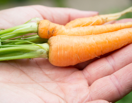 local supply: close up og young carrots on woman hands