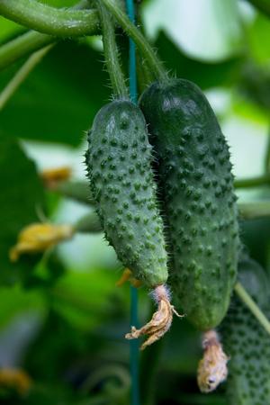 cuke: two cucumbers growing in a summer garden Stock Photo