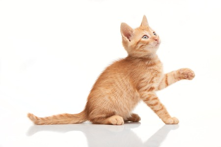 Playful red kitten looking up, trying to catch something with his paw, isolated on white background Stock Photo