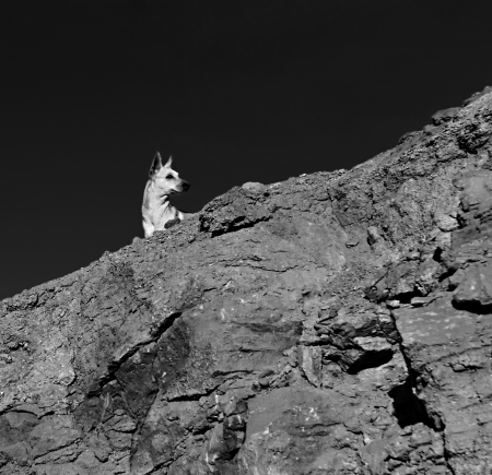 dog rock: dog on a rock looking into the distance