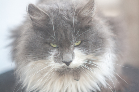 dullness: Photo of a large cat with a bad mood Stock Photo