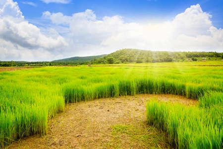 Rice field with blue sky Reklamní fotografie