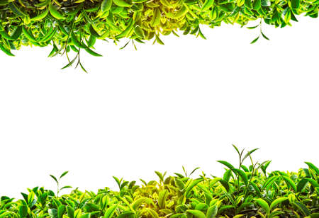 Green tea frame on white background