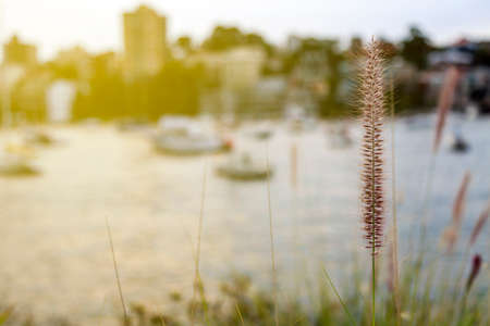 lake district: Beautiful grass at harbour, Sydney australia